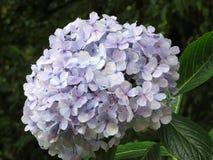 Blomsterhandlarevanlig hortensia Royaltyfri Bild