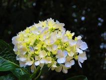 Blomsterhandlarevanlig hortensia Arkivbild