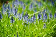 Blomsterrabatt av armeniacumen för druvahyacint eller Muscari Royaltyfri Fotografi