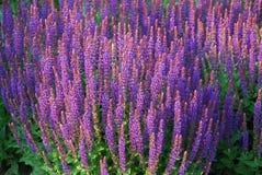 Blomsterrabatt av Salvia Arkivfoton