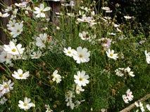 Blomsterrabatt med blommakosmeya Arkivbilder
