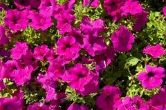 Blomsterrabatt med den rosa petunian Arkivbilder