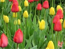 Blomsterrabatt med gula och röda tulpan med gröna sidor fotografering för bildbyråer