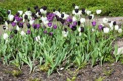 Blomsterrabatt med lila-, vit- och svarttulpan Royaltyfri Fotografi