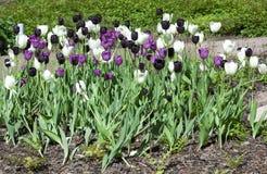 Blomsterrabatt med lila-, vit- och svarttulpan Royaltyfria Bilder