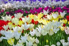 Blomsterrabatt med ljusa mångfärgade tulpan, blom- glad bakgrund arkivbild