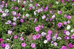 Blomsterrabatt med petunior i skuggor av rosa färger Arkivbilder