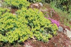 Blomsterrabatt med suckulentväxter - Euphorbia, flox, Sedum Royaltyfri Bild