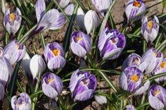 Blomsterrabatten av purpurfärgad krokus Fotografering för Bildbyråer