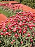 Blomsterrabatten av röd-vit tulpan royaltyfri fotografi