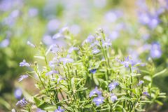 Blomsterrabatten med härliga blått blommar parkera, suddig bakgrund, solstrålar Arkivfoto