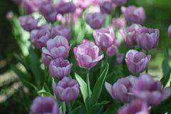 Blomsterrabattljus - purpurfärgade blommor och arbeta i trädgården för tulpansprind arkivfoto
