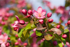 Blomstra äpple Royaltyfri Foto