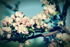 Blomstra äppleträdet royaltyfri foto