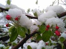 Blomstra äppleträdet efter en damning av snö Royaltyfri Fotografi