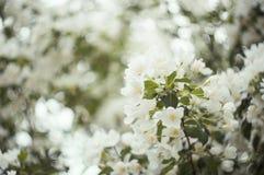 Blomstra äppleträdet i vår Arkivbilder