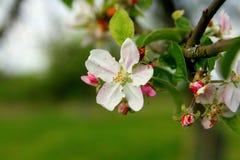 Blomstra äppleträdet, knoppar och blommor royaltyfria foton