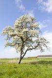 Blomstra äppleträdet och blå himmel Royaltyfria Bilder