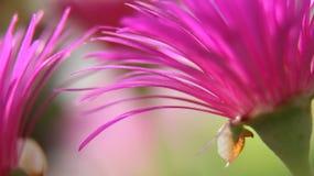 Blomstra aizoaceaen Royaltyfria Bilder