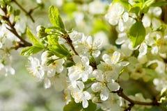 Blomstra Apple-trädet Royaltyfri Fotografi