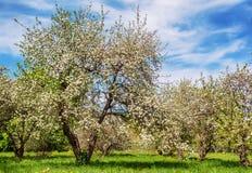 Blomstra Apple-trädet i en vårträdgård Royaltyfri Bild