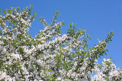 Blomstra Apple-tree Royaltyfria Foton