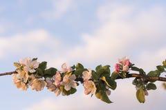 Blomstra av Apple-trädet på härlig himmelbakgrund, natur royaltyfri foto