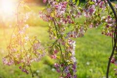 Blomstra av det dekorativa Apple-trädet i vårnärbild Fotografering för Bildbyråer