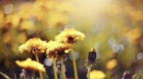 Blomstra av en gul maskros Arkivbilder