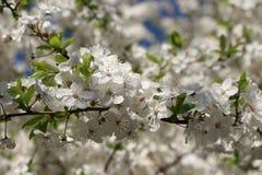 Blomstra av ett körsbärsrött träd Royaltyfri Fotografi