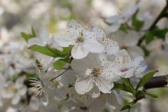 Blomstra av ett körsbärsrött träd Royaltyfria Bilder