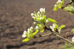 Blomstra av ett päron Arkivbild