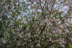 Blomstra av mandel-trädet Arkivfoto