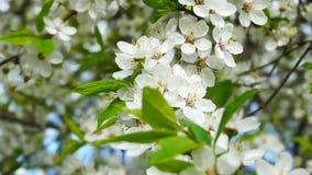 Blomstra av Myrobalanplommonet stock video