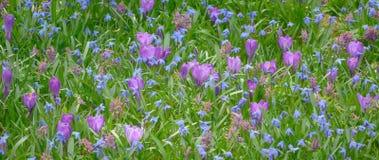 Blomstra av primulor, krokusar och östliga camas Royaltyfri Fotografi