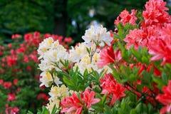 Blomstra av röda och gula rhododendroner och azaleor Arkivfoto
