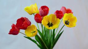 Blomstra av tulpan arkivfilmer