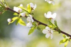Blomstra bakgrund för solig vår för körsbärsröd plommon färgrik Fotografering för Bildbyråer