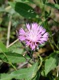Blomstra blåklint eller knapweeden Royaltyfri Fotografi