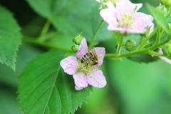 Blomstra blackberr Arkivbilder