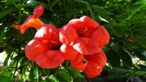 Blomstra blomman av Campsis radicans på trädet trumpetrankan är art av blomningväxten av familjen royaltyfri fotografi