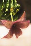 Blomstra blomman av en stapelia Royaltyfria Bilder