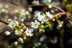 Blomstra blomman av träd Arkivfoton