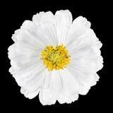 Blomstra blomman Elegans som för vit Zinnia isoleras på svart arkivbild