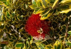 Blomstra blommor av callistemon på solvårdagen Selektivt fokusera arkivbild