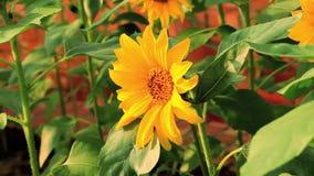 Blomstra blommor, solrosor, sommarsolsken, passionerade blomningar, stock video