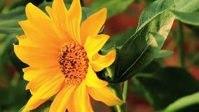 Blomstra blommor, solrosor, sommarsolsken, passionerade blomningar, lager videofilmer