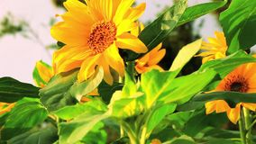 Blomstra blommor, solrosor, sommarsolsken, passionerade blomningar, arkivfilmer