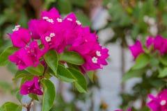 Blomstra bougainvilleablommor Arkivbilder
