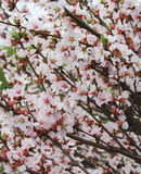 blomstra buske Arkivbilder